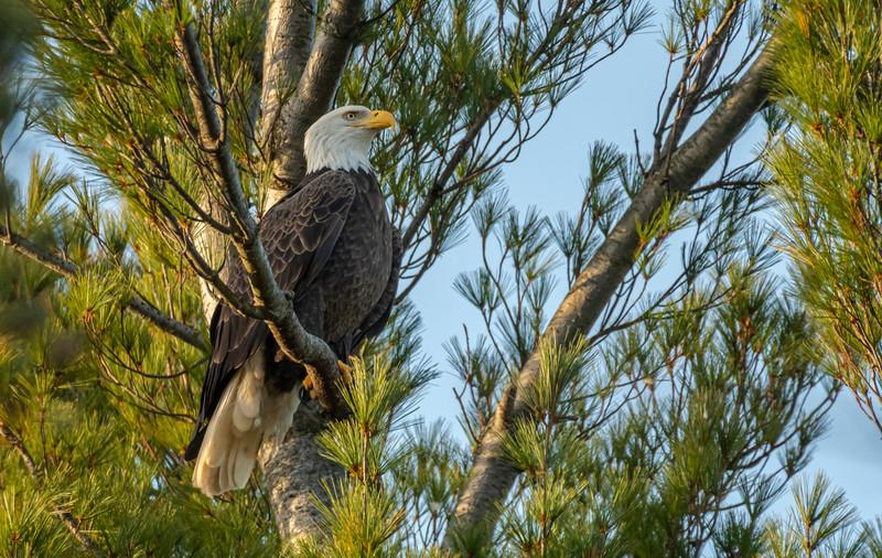 Majestic mature Bald Eagle