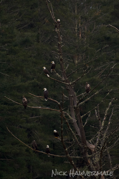 A Tree of Eagles