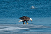 ABE-10008: Eagle with winter kill fish on Mississippi River