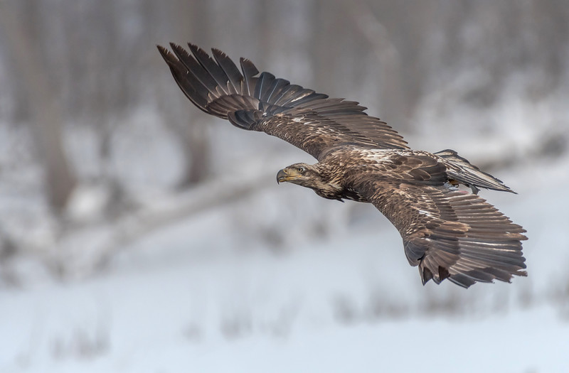Juvenile Bald Eagle fly-by