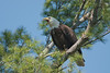 ABE-10078: Eagle in Pine tree