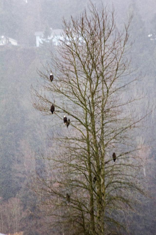 Tree of Bald Eagles.. a Family Reunion perhaps
