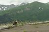 Bald Eagle at Lake Clark NP
