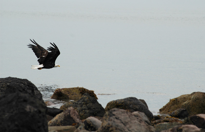 Bald eagle in flight at the ocean shoreline<br /> Professional Wildlife Photography by Christina Craft of the Nature Stock Photography Library