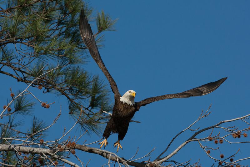 Bald Eagle Launch #2