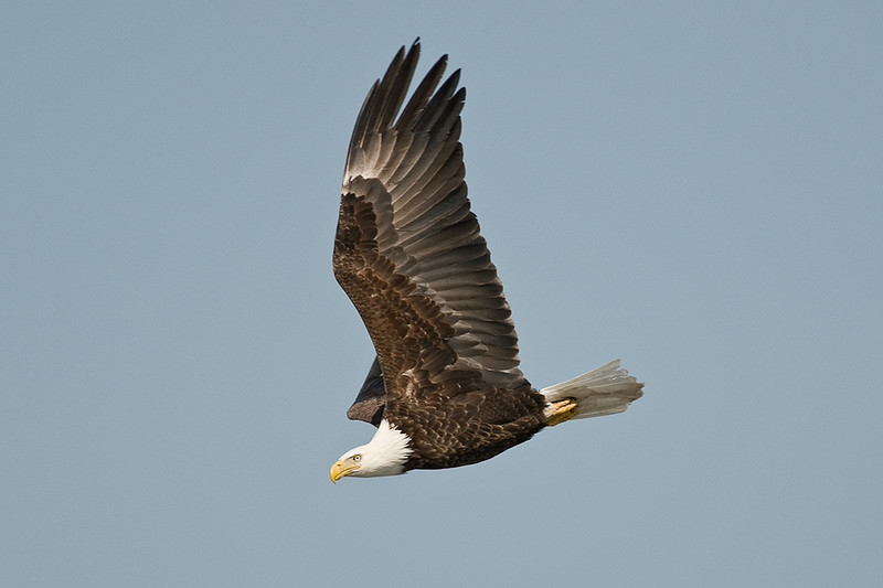 ABE-9013: Mature Bald Eagle in spring
