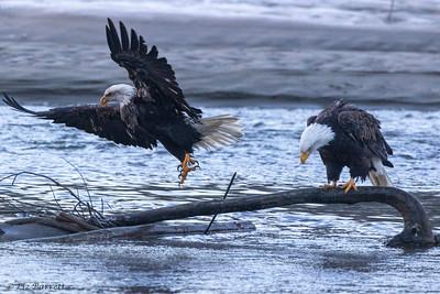 0U2A5173_Eagle