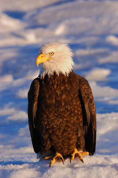 ABE-5324: Bald Eagle portrait