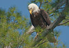 ABE-10040: Mature Bald Eagle (Haliaeetus leucocephalus)