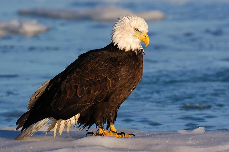 ABE-5569: Eagle stare