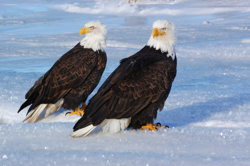 ABE-5596: Bald Eagles