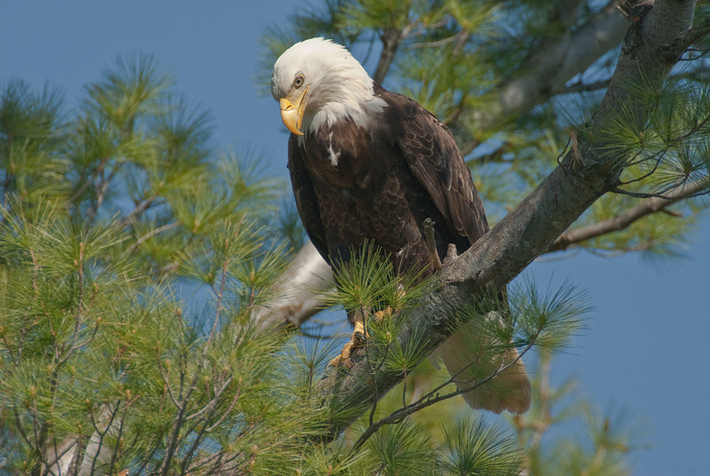 ABE-10039: Eagle checking out the nest (Haliaeetus leucocephalus)