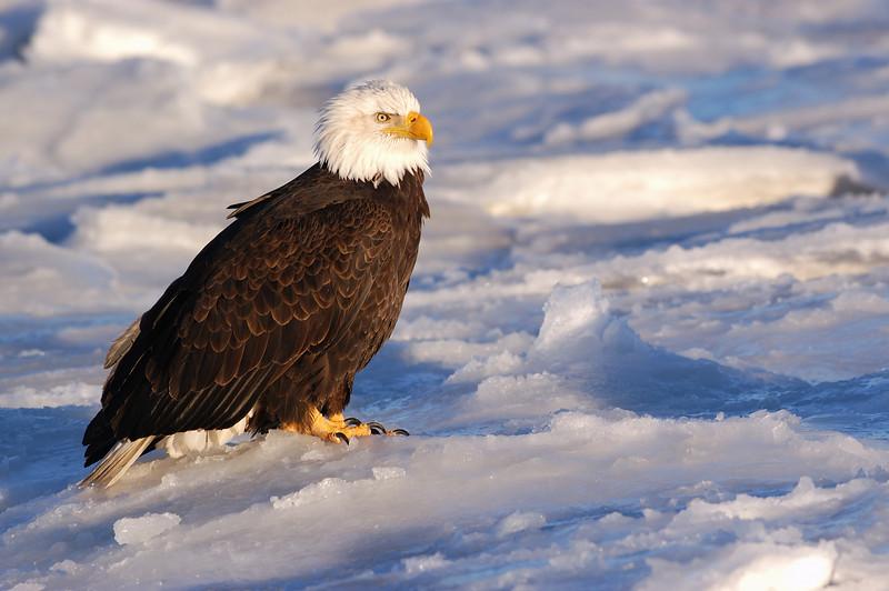 ABE-5329: Bald Eagle