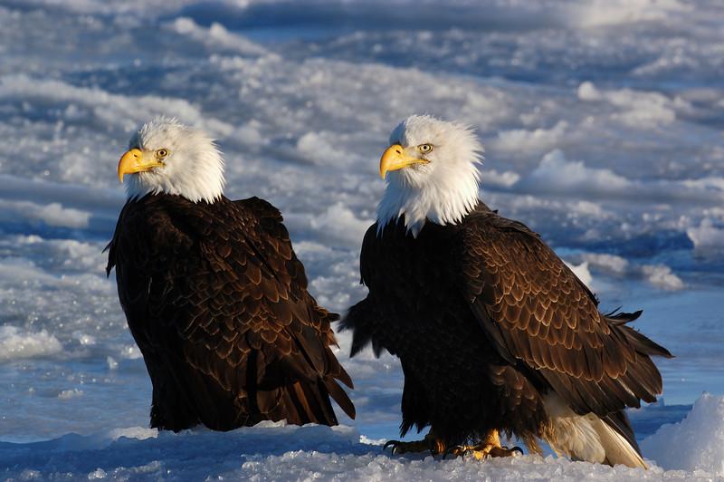 ABE-5390: Eagle pair
