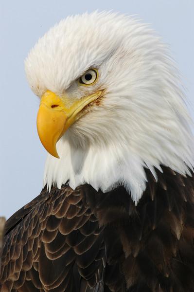 ABE-4058: Bald Eagle Portrait