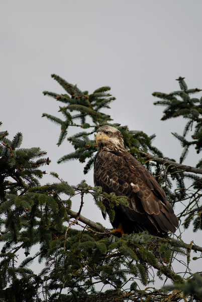 The majestic bald eagle - a juvenile bald eagle