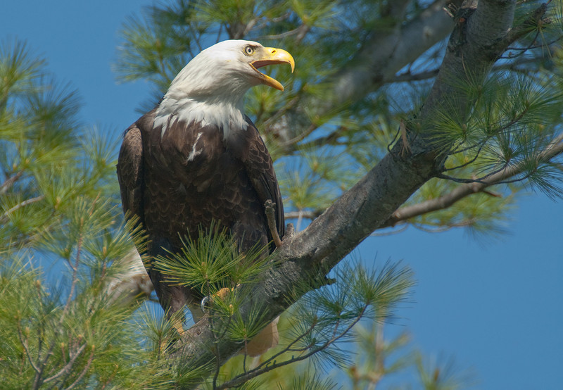 ABE-10027: Eagle scream (Haliaeetus leucocphalus)