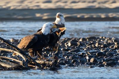 0U2A5649_eagle