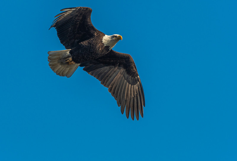 Mature eagle fly over