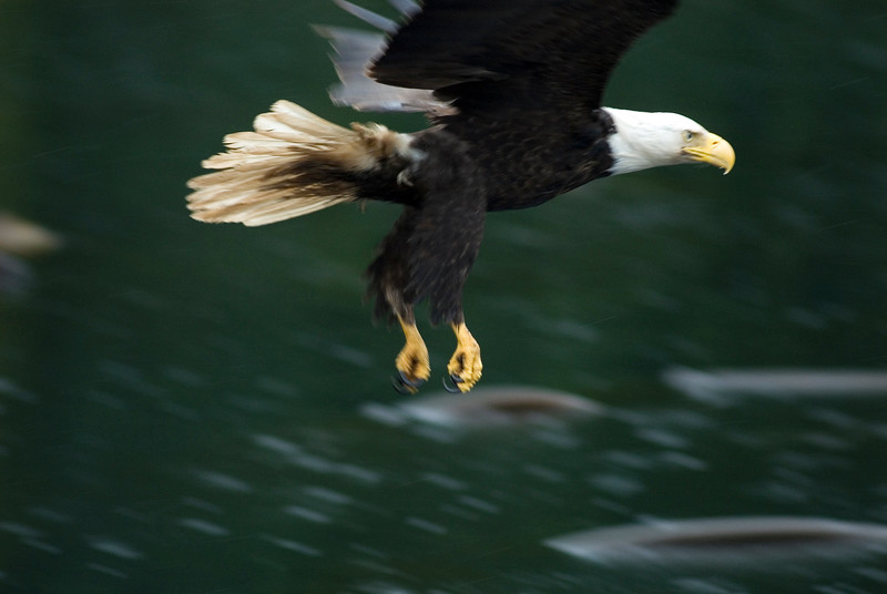 Motion blur pan of a bald eagle over the water, Stock Photo by Nature Photographer Christina Craft