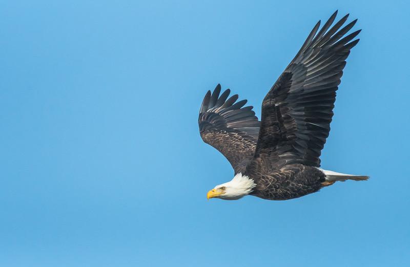 Bald Eagle against a blue sky