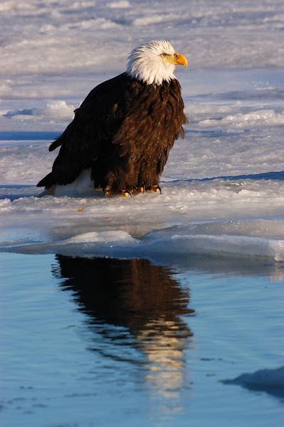 ABE-5562: Eagle reflection