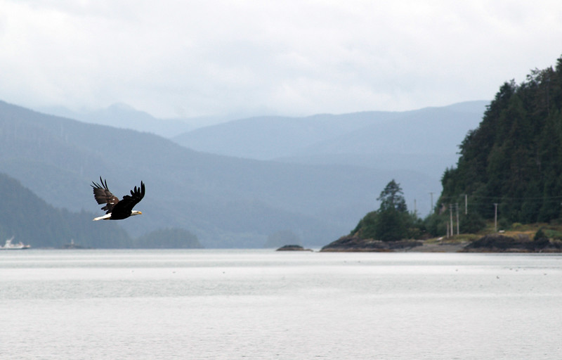 Bald eagle in flight<br /> Professional Wildlife Photography by Christina Craft of the Nature Stock Photography Library