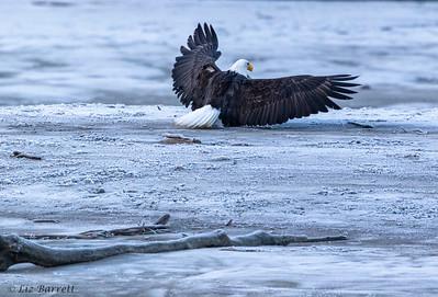 0U2A5083_Eagle