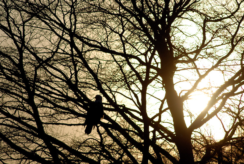 The majestic bald eagle at sunset in a silhouetted tree