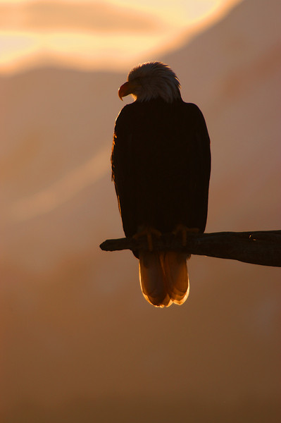 ABE-5114: Eagle silhouette on perch