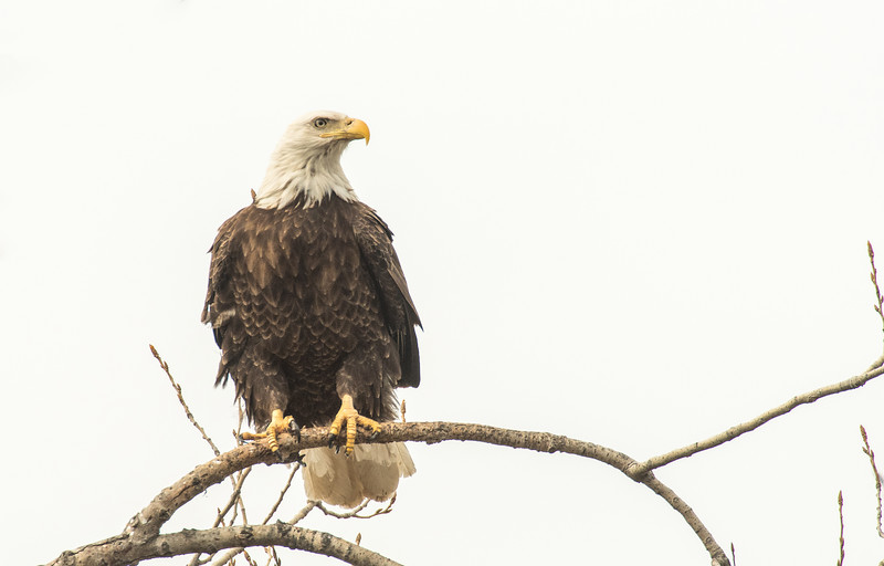 Gray day Bald Eagle