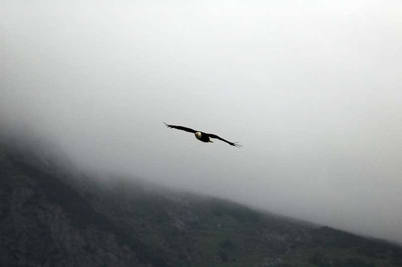 A bald eagle flying through the clouds<br /> Professional Wildlife Photography by Christina Craft of the Nature Stock Photography Library