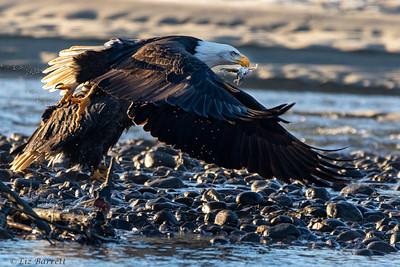0U2A5652_Eagles