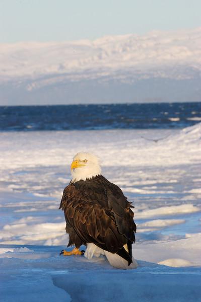 ABE-5641: Bald eagle in winter habitat