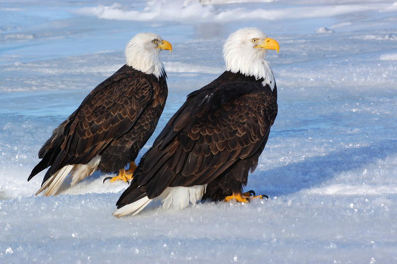 ABE-5597: Eagles on new fallen snow
