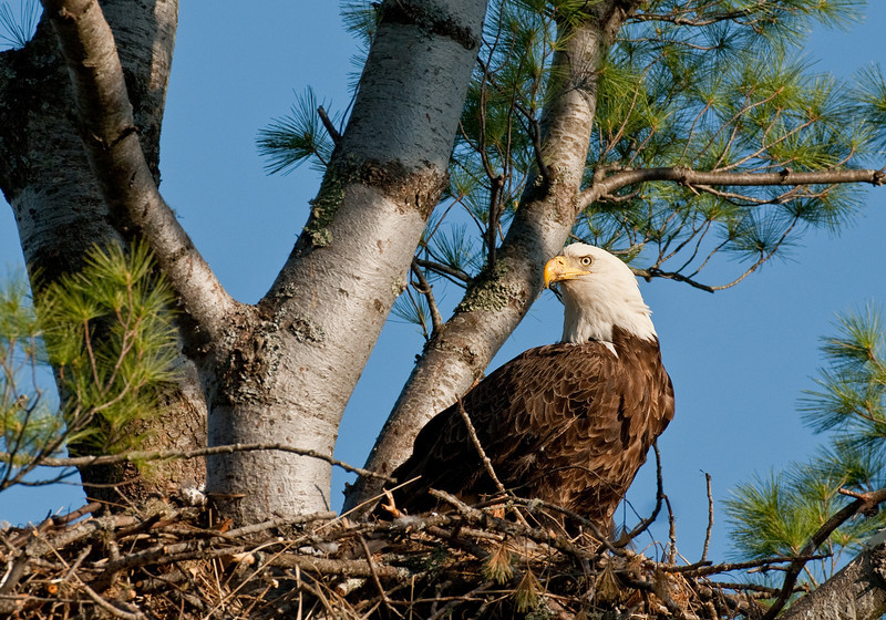 ABE-10086: BAld eagle on nest site