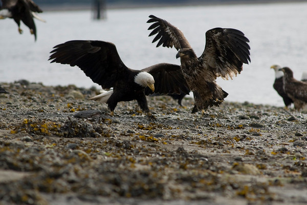 bald eagle - fighting with an osprey