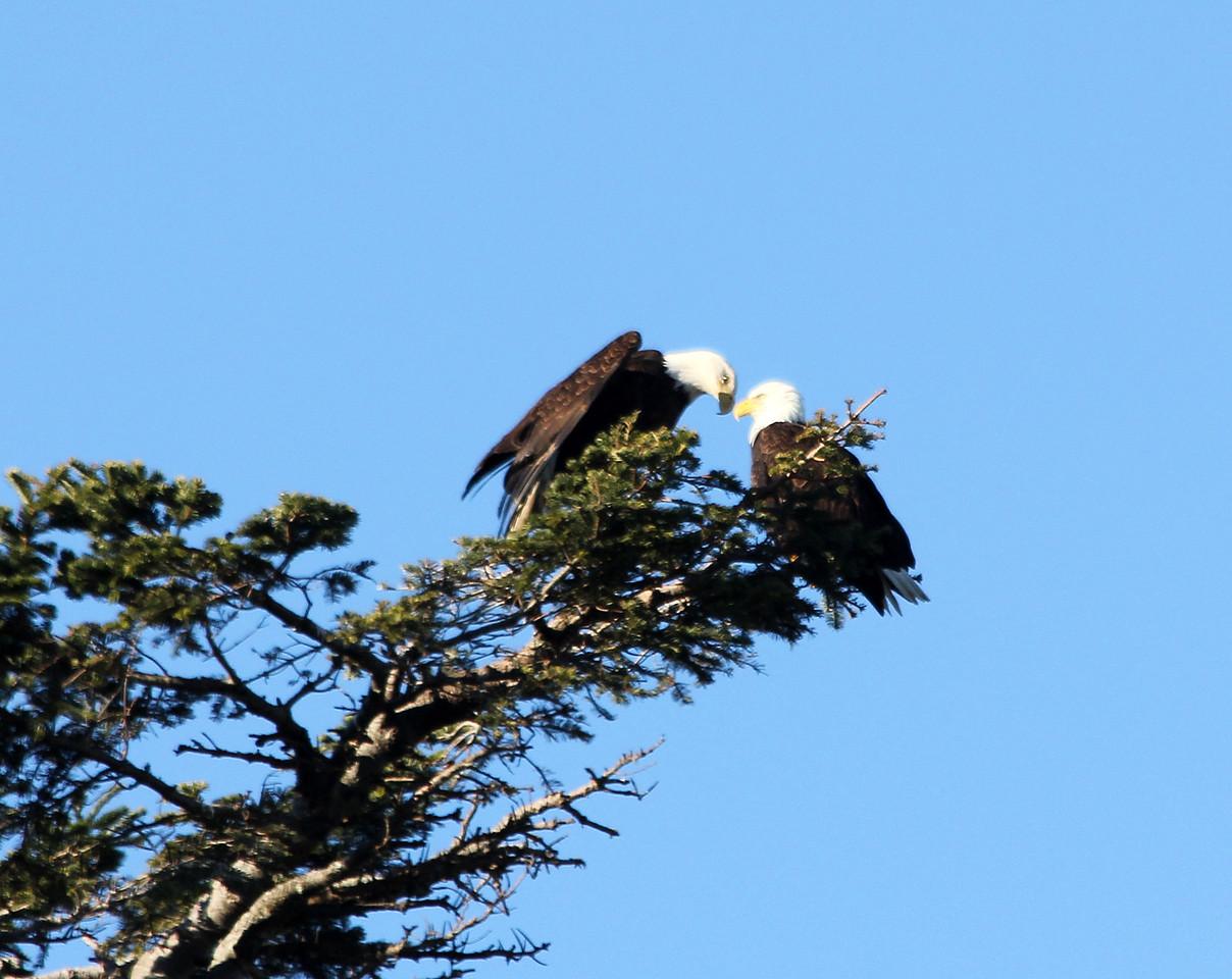 Bald Eagles    Mated Pair