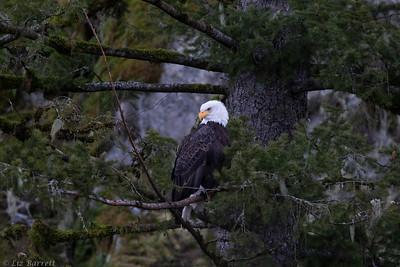 202A9401_Bald Eagle