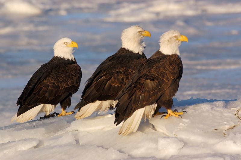 ABE-5629: Eagles on ice
