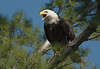 ABE-10030: Screaming Eagle (Haliaeetus leucocephalus)