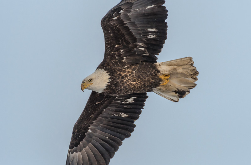 Adult Bald Eagle fly-by
