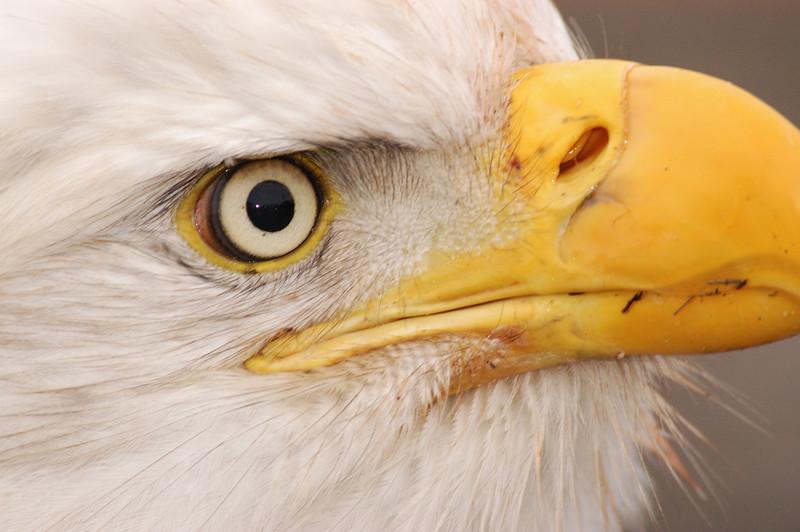 ABE-5685: Eye of a Eagle