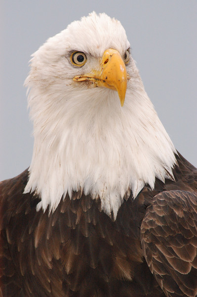ABE-5684: Mature Eagle portrait