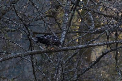 202A9509_Juvenile Balfd Eagle
