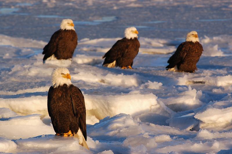 ABE-5305: Eagles on Kachemak bay