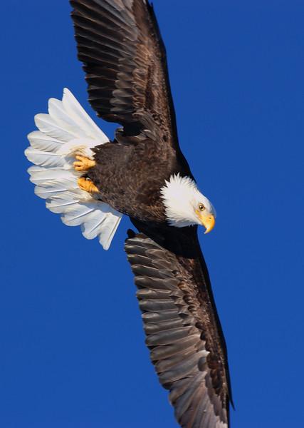 ABE-5537: Eagle dive