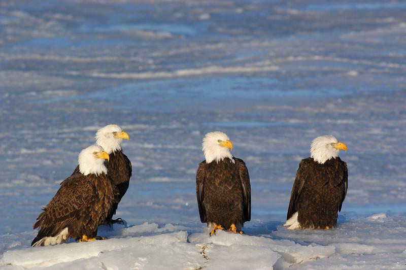 ABE-5418: Eagle gathering