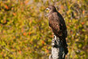 ABE-10090: Juvenile Bald Eagle at Judge CR Magney St. Pk.
