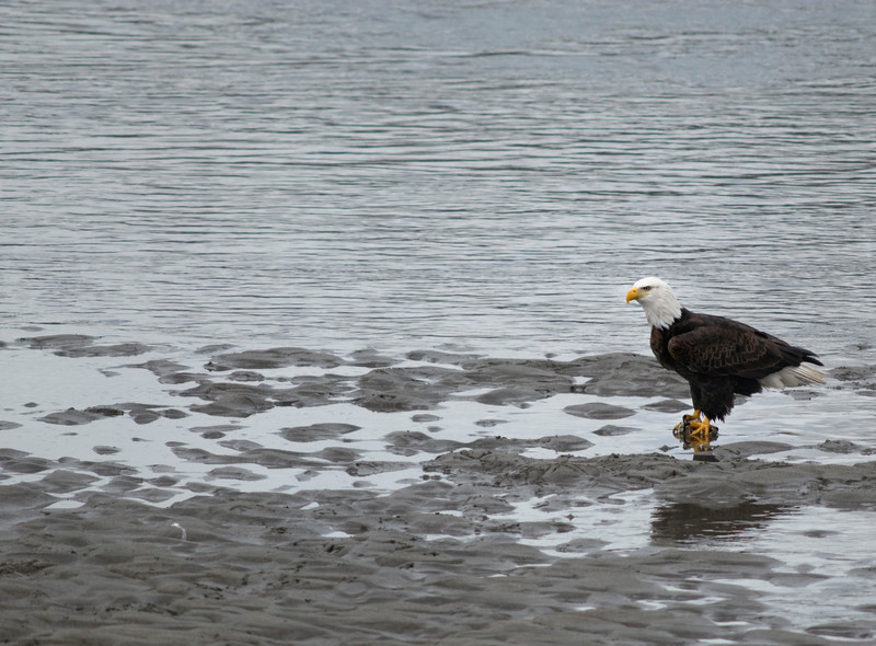 Bald eagles congregating during salmon season - two places in North America attract the highest concentrations of eagles in the world: Brackendale (near Squamish) in British Columbia and Haines, Alaska<br /> <br /> The Bald Eagle was officially declared the National Emblem of the United States by the Second Continental Congress in 1782. It was selected by the U.S.A.'s founding fathers because it is a species unique to North America. Ben Franklin wanted the wild turkey to be the national bird, because he thought the eagle was of bad moral character. The Bald Eagle has since become the living symbol of the U.S.A.'s freedoms, spirit and pursuit of excellence. Its image and symbolism have played a significant role in American art, folklore, music and architecture. <br /> <br /> <br /> The Nature Stock Photography Library features rights managed and royalty free wildlife, nature, travel stock photography and licenses for stock photos. We also sell high quality fine art nature prints and photo products. All images are by professional wildlife and nature photographer Christina Craft.